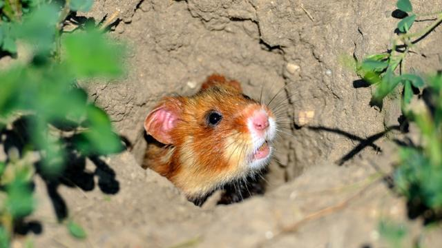 Un hamster d'Europe photographié le 2 juillet 2014 près de Boesfeld, dans le centre de l'Allemagne. L'animal, aussi connu en France comme le grand hamster d'Alsace, est menacé [UWE ANSPACH / DPA/AFP]