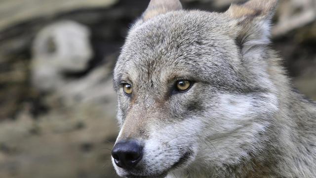L'autorisation de l'abattage d'un loup dans l'Isère a été suspendue par le tribunal administratif de Grenoble (Image d'archives) [Dieter Nagl / AFP/Archives]