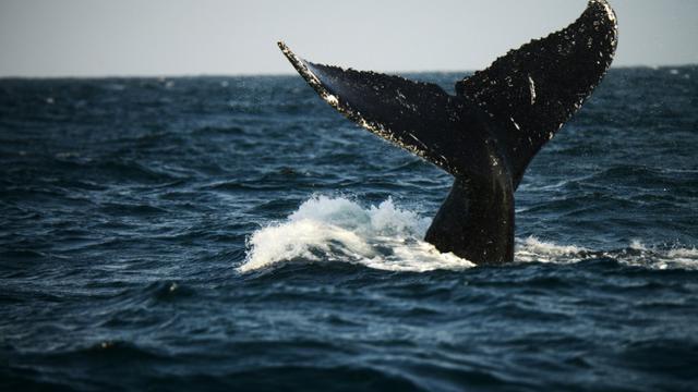 Une baleine à bosse du Pacifique sud, au large du Pérou le 1er octobre 2015 [Cris Bouroncle / AFP/Archives]