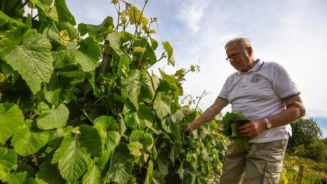 Kaarlo Nelimarkka, dynamique septuagénaire à la tête d'un vignoble, inspecte ses vignes à Vaasa, à 400 kilomètres au sud du cercle polaire, le 5 août 2015 en Finlande [OLIVIER MORIN / AFP]