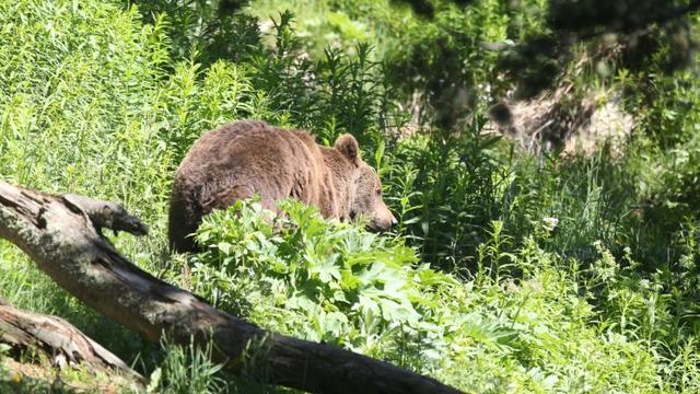 Ours des Pyrénées: feu vert aux mesures d'effarouchement  [RAYMOND ROIG / AFP/Archives]