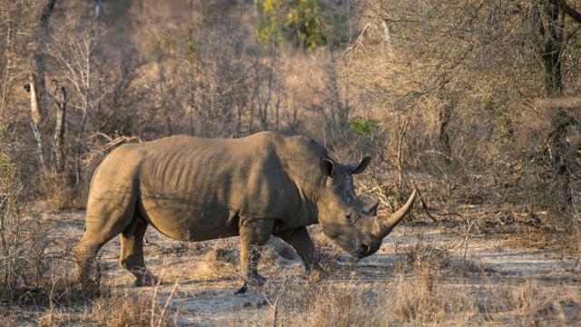 Un rhinocéros blanc dans le parc national Kruger, en Afrique du Sud, le 20 août 2018 [WIKUS DE WET / AFP/Archives]