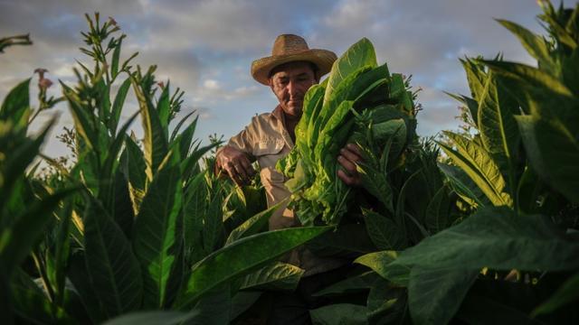 Un paysan cubain récolte des feuilles de tabac dans une plantation de San Juan y Martinez, le 24 février 2018 à Pinar del Río [Yamil LAGE / AFP]