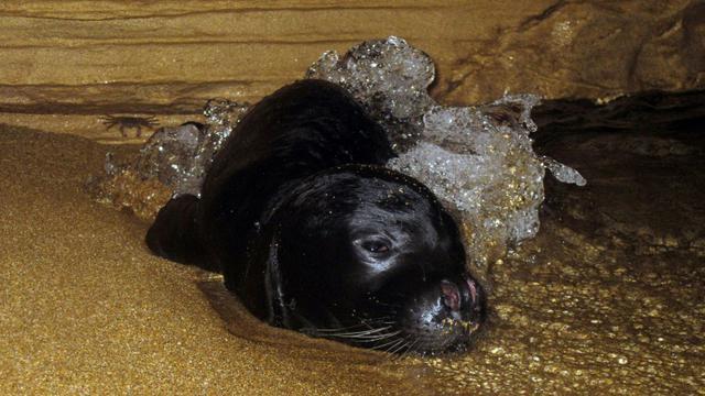 Un bébé phoque moine (monachus monachus) se repose dans une grotte marine sur la côte ouest de Chypre, le 10 novembre 2011. Photo fournie par le Département de la pêche et de la recherche marine de Chypre [Melina MARCOU / Cyprus Department of Fisheries and Marine Research/AFP/Archives]