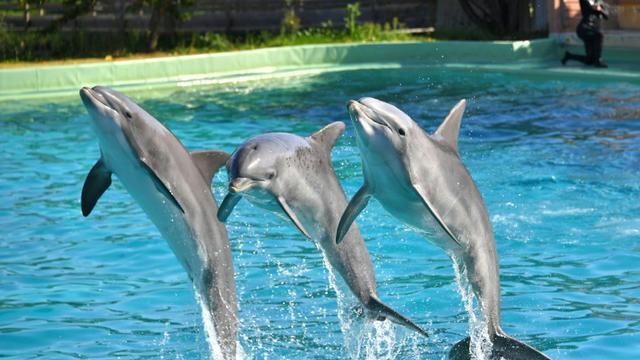 Des dauphins lors d'un spectacle au zoo de Port-Saint-Père, le 14 octobre 2017 [LOIC VENANCE / AFP/Archives]