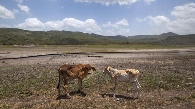 Du bétail élevé au réservoir de Las Canoas à 60 km de Managua, au Nicaragua, le 30 juillet 2014 [Diana Ulloa / AFP/Archives]