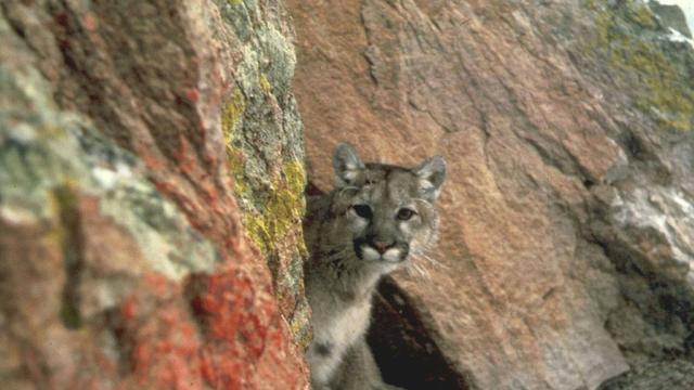 Un coureur a tué à mains nues un puma dans le Colorado [HO / US FISH & WILDLIFE SERVICES/AFP/Archives]