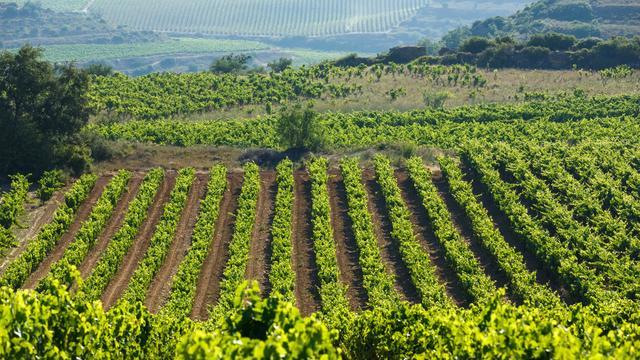 Vue générale des vignobles de La Rioja à Samaniego, dans le nord de l'Espagne le 23 juillet 2014 [Cesar Manso / AFP]