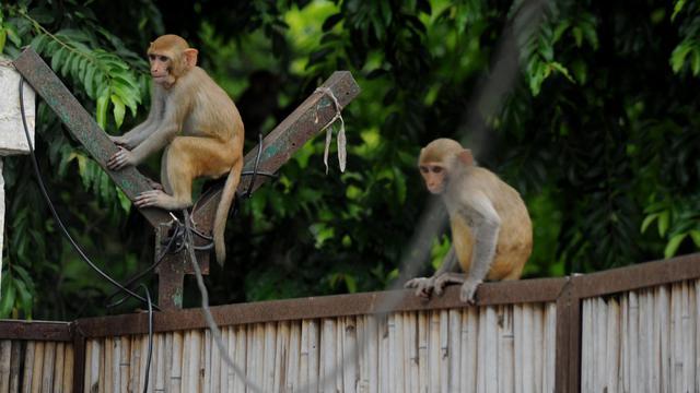 Des singes sur un portail dans l'arrière-cour d'une maison à New Delhi (Inde), le 5 août 2014 [Sajjad Hussain / AFP]