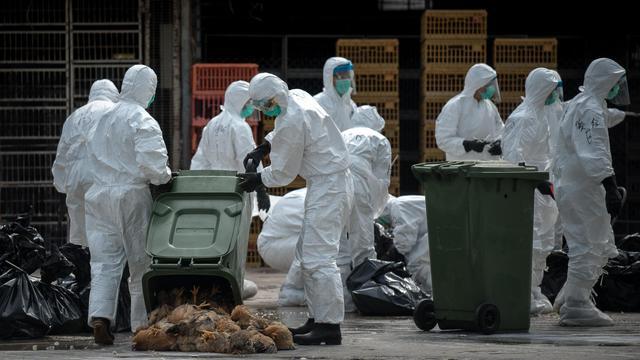 Des agents revêtant des combinaisons protectrices traitent des cadavres de poulets tués en masse après la découverte de la présence du virus H7N9 de la grippe aviaire sur des volailles à Hong Kong, le 28 janvier 2014  [Philippe Lopez / AFP]