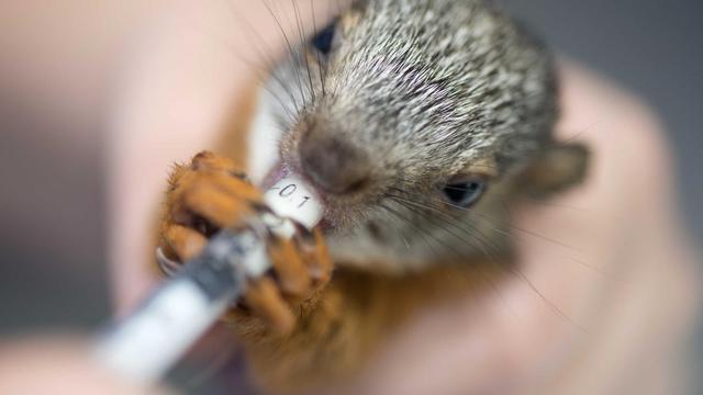 Une infirmière donne un médicament à un écureuil dans le centre vétérinaire du zoo de San Jose, le 28 août 2014 [Ezéquiel Becerra / AFP]