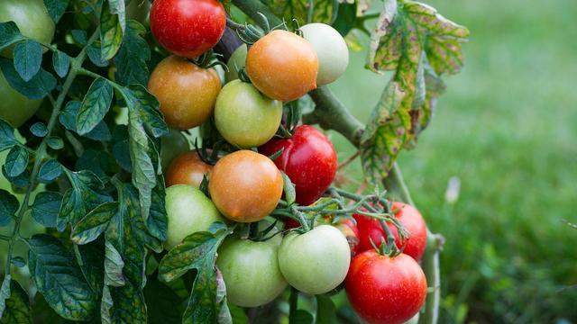 Des tomates plus ou moins mûres au Conservatoire de la Tomate de Montlouis-sur-Loire, près de Tours, le 19 août 2013 [Alain Jocard / AFP]