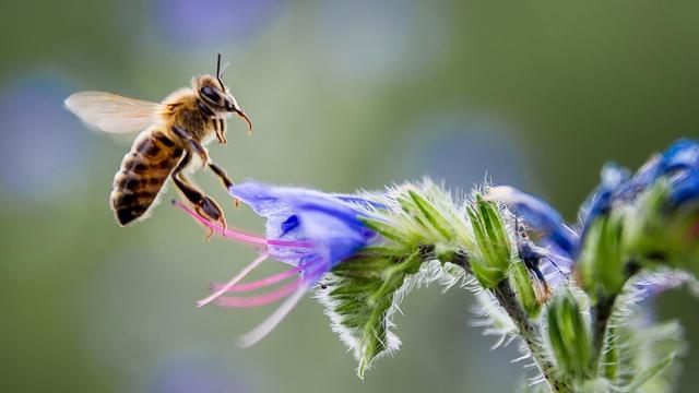 Une abeille recueille le nectar d'une fleur [Phulippe Huguen / AFP/Archives]