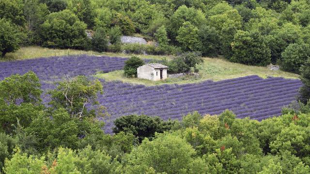 Des champs de lavande sur le plateau d'Albion, près de Sault, le 29 juillet 2014 [Anne-Christine Poujoulat / AFP]