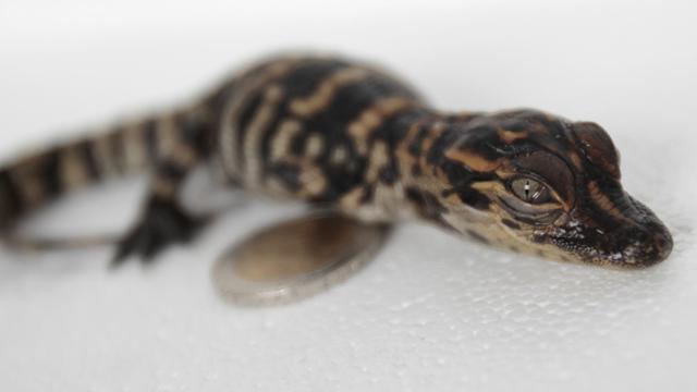 Le 22 août 2014, un bébé alligator, à côté d'une pièce de 2 euros, né au parc Biotropica à Val-de-Reuil, en Normandie [Charly Triballeau / AFP]