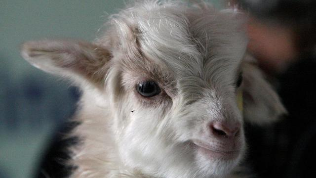 100% top quality first look good out x En Inde, la mort de chèvres menace la production de pashmina ...