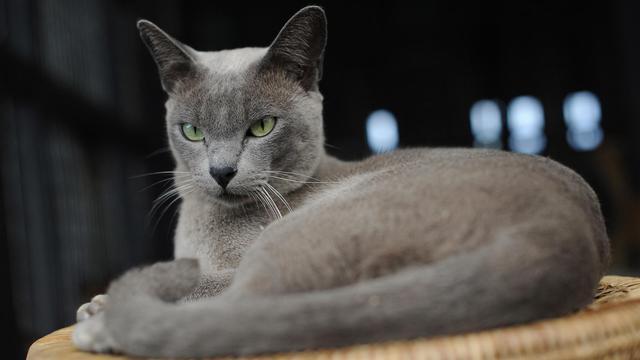 Ils ressemblent aux chats siamois -- au moins pour les néophytes -- et sont inconnus ou presque de leurs contemporains, mais les chats birmans existent: il en reste une poignée en Etat shan, dans l'est du pays dont ils portent le nom. [AFP]