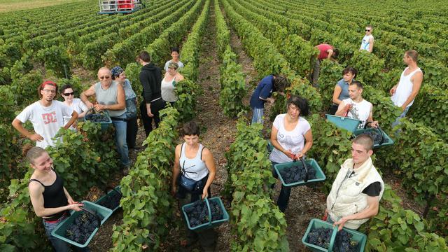 """Le village viticole de Bethon (Marne) a inauguré lundi les vendanges du vignoble de Champagne, où les professionnels s'attendent à une récolte d'une qualité exceptionnelle mais limitée en volume après un """"printemps calamiteux"""". [AFP]"""