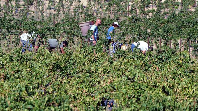 Des vendangeurs travaillent dans des vignes de Lézignan, dans la région de Corbières [Pascal Pavani / AFP]