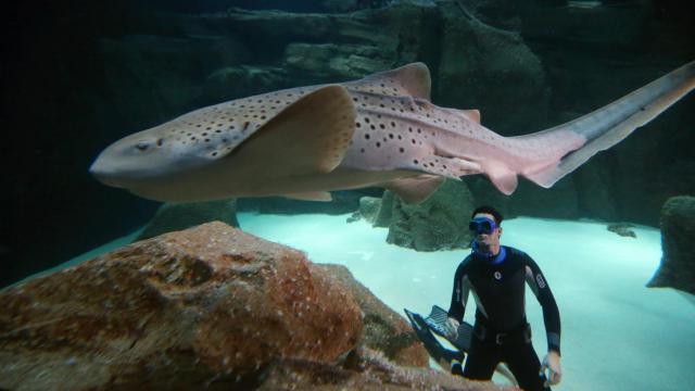 Le spécialiste de l'apnée Pierre Frolla au milieu des requins dans l'Aquarium de Paris, le 11 novembre 2012.