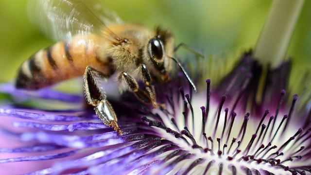 Une abeille [Joe Klamar / AFP/Archives]