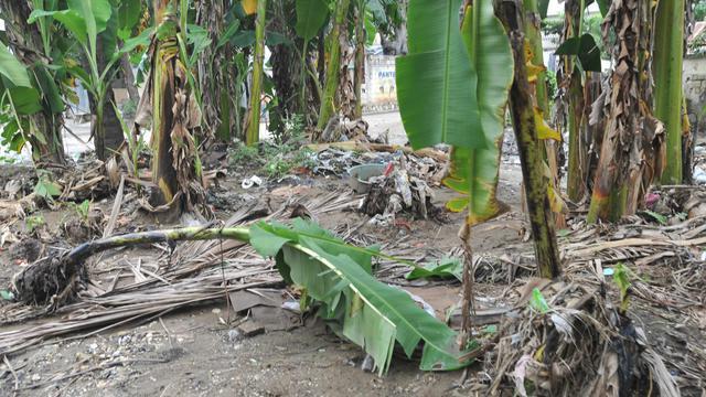 Les récoltes endommagées par l'ouragan Sandy dans le sud-ouest d'Haïti, le 17 novembre 2012 [Thony Belizaire / AFP]