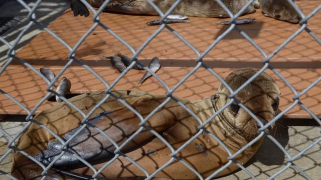 Un jeune otarie se repose le 9 avril 2013 dans le centre de soins des mammifères marins de Fort MacArthur, à San Pedro, en Californie [Joe Klamar / AFP]