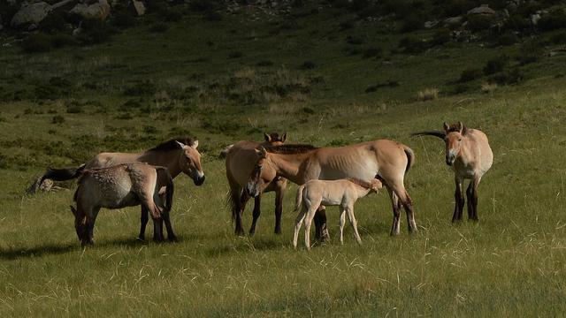 Des chevaux de Przewalski dans le parc national Hustai en Mongolie, le 5 juin 2013 [Mark Ralston / AFP/Archives]