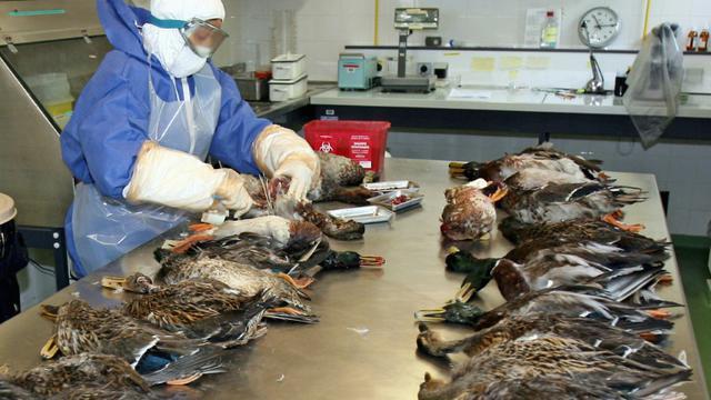 Une personne de la direction départementale des services vétérinaires (DDSV) des Alpes-Maritimes effectue des prélèvements sur des cadavres de canards, le 18 septembre 2006 à Sophia-Antipolis, dans le cadre de la surveillance de la grippe aviaire. [Valéry HACHE / AFP/Archives]