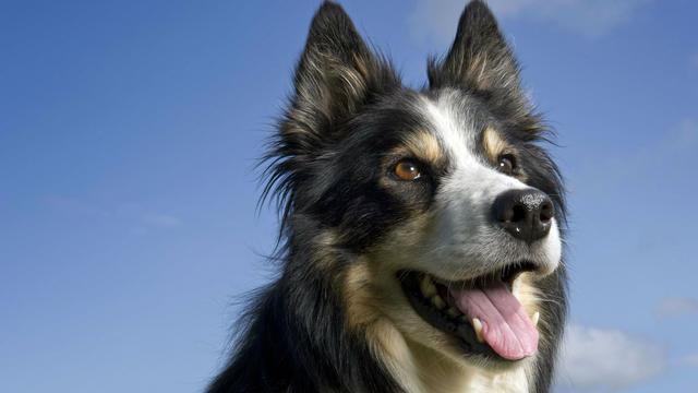 Comment Calculer Age Chien un chien a-t-il vraiment sept fois l'âge d'un être humain ? | www