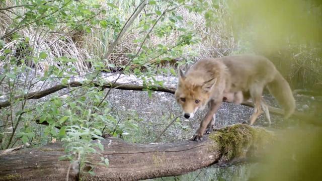 Durant trois minutes, le spectateur peut voir différents animaux traverser un tronc d'arbre pour rejoindre une rive.