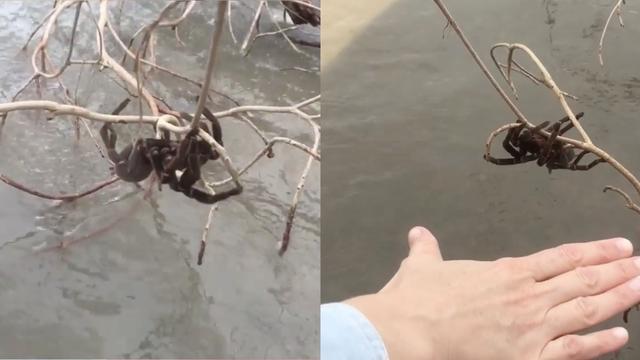 Australie : ils sauvent une araignée GÉANTE des inondations ... si vous  êtes arachnophobes, passez votre chemin ! (vidéo)