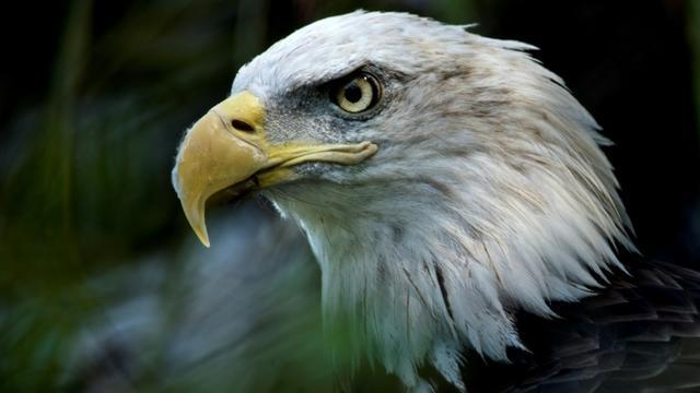 Le pygargue à tête blanche est l'animal symbole des Etats-Unis [Brendan Smialowski / AFP/Archives]