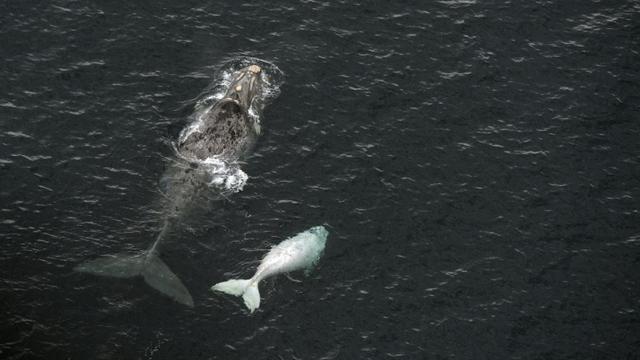 Une baleine et son petit dans le Golfo Nuevo près de Puerto Piramides en Patagonie, Argentine, le 30 septembre 2015  [Juan Mabromata / AFP/Archives]