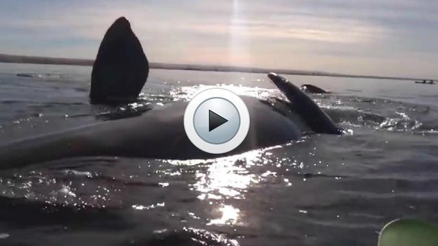 Les baleine se sont approchées des kayakistes avant de les soulever doucement