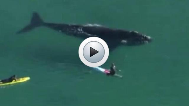 La baleine semblait vouloir jouer avec les surfeurs.