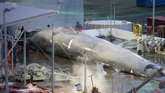 Le mammifère mesure la taille d'un bus et présente les caractéristiques d'une baleine bleue.