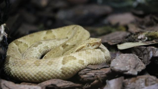 Serpents de l'île de Queimada Grande
