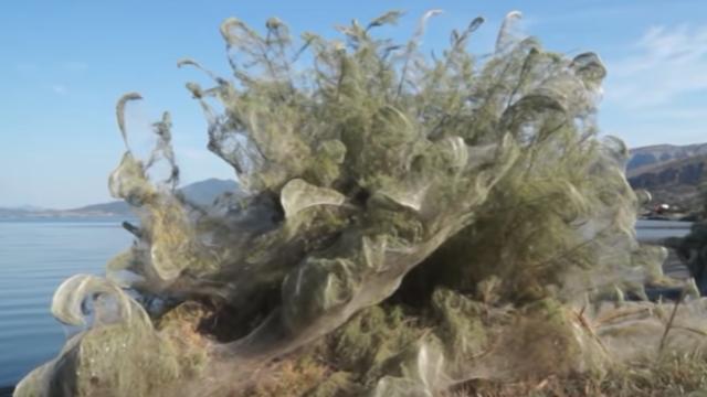 La toile géante a recouverte toute la végétation