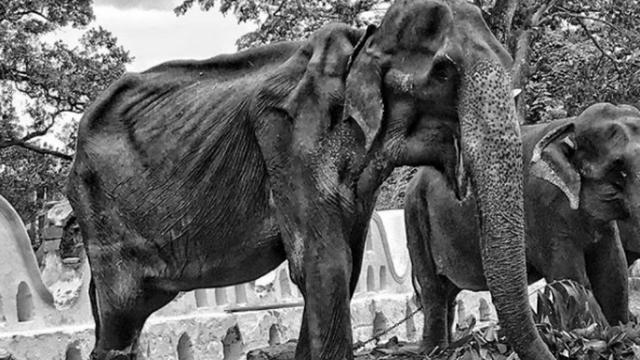 En août dernier, le ministère du tourisme du Sri Lanké avait, face au tollé international suscité, indiqué que Tikiri ne participerait plus à aucune célébration religieuse.