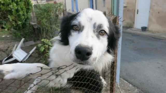 Le chien recueilli par la SPA de Bergerac est bien Gribouille selon son propriétaire. Sauf qu'aucune puce d'identification n'a été détectée.