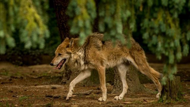 La France compte un effectif estimé de 430 loups [PHILIPPE HUGUEN / AFP/Archives]