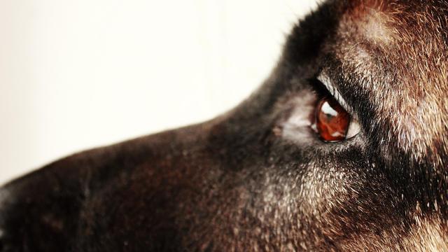 Reproduction, recherche médicale, agrément : les causes du trafic de chiens sont nombreuses