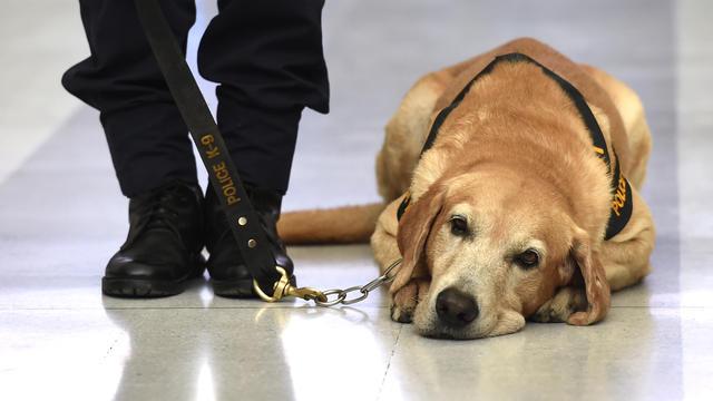 Plusieurs chiens policiers dressés à détecter le cannabis vont se retrouver sans emploi.