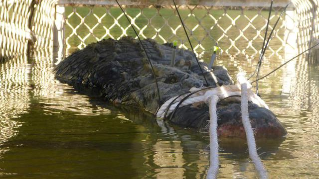 L'animal a été retrouvé au fond d'un piège installé dans la rivière près de la localité de Katherine (nord).