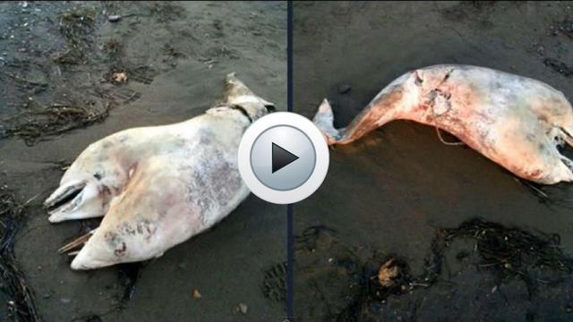Un dauphin bicéphale a été découvert sur une plage d'Izmir (Turquie) par un promeneur (capture d'écran YouTube)