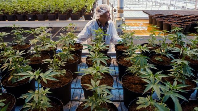 Une plantation de cannabis, le 12 octobre 2018 à Lincoln, au Canada [Lars Hagberg / AFP/Archives]
