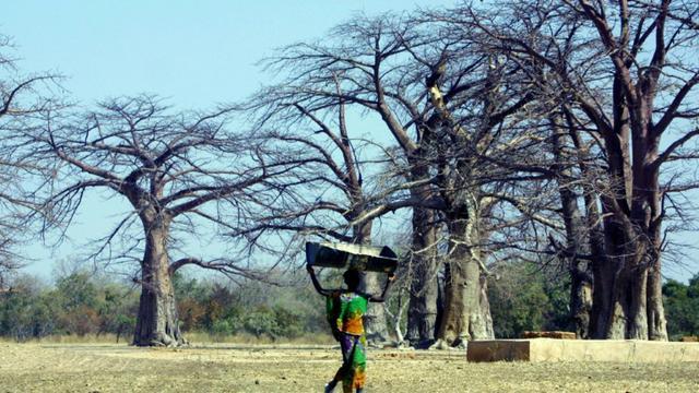 Une jeune fille marche au milieu des baobabs, au Sénégal, en 2001 [PATRICK HERTZOG / AFP/Archives]