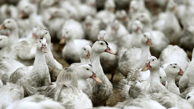 Des canards confinés dans une ferme à Bourriot-Bergonce, dans l'ouest de la France, le 22 février 2017 [GEORGES GOBET / AFP/Archives]