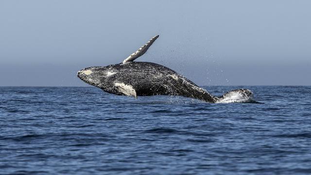 Une baleine de type Megaptera novaeangliae saute hors de l'eau. Le 15 mars 2018. [FERNANDO CASTILLO / AFP/Archives]